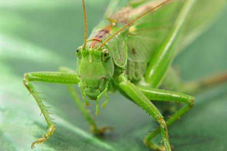 Locust taken closeup on green leaf. photo