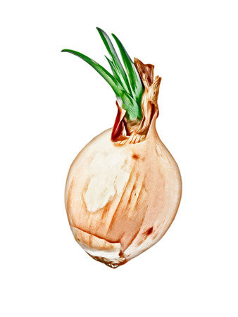 sprouted: Sprouted onion isolated on white .Digitally generated image.