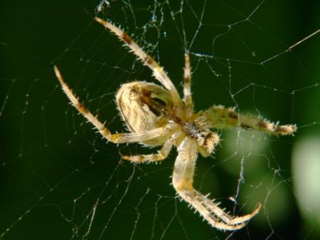 araneidae: Araneus diadematus spider taken closeup on a green background.