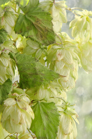 bine: Green hop cones branch with leafs taken closeup.Beer production. Stock Photo