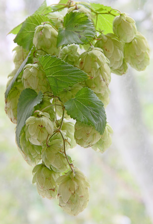 bine: Ripe green hop cones with leafs taken closeup.Beer production. Stock Photo