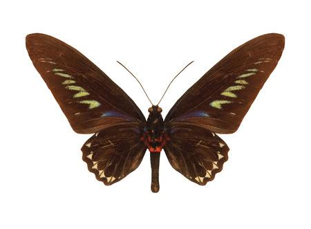 rajah: Mariposa tropical Rajah Brookes Birdwing.Trogonoptera Brookiana.Isolated sobre fondo blanco.