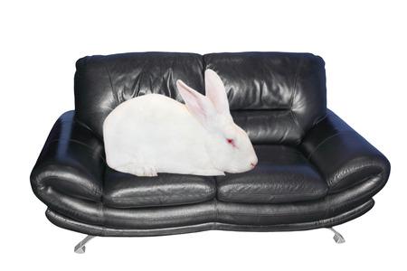 lagomorpha: White rabbit sits on black leather sofa isolated on white background. Stock Photo