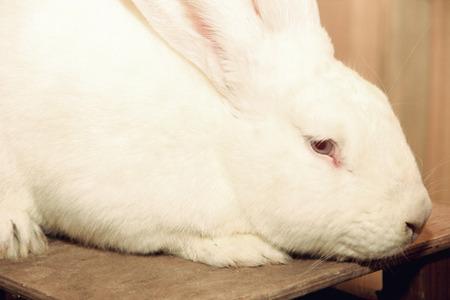 lagomorpha: White rabbit muzzle taken closeup.
