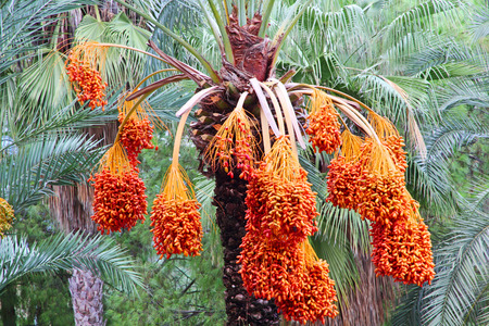 Date palm tree with ripe fruits taken closeup.