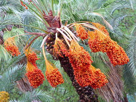 date palm tree: Date palm tree with appetizing ripe fruits taken closeup.