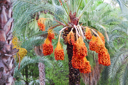 date palm tree: Date palm tree with fruits taken closeup. Stock Photo