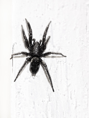 araneidae: Black spider on white wall taken closeup.