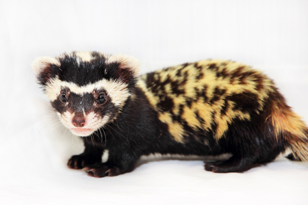 vulnerable: Marbled polecat (Vormela peregusna) on white fabric background. Was classified as a vulnerable species in the IUCN Red List. Stock Photo