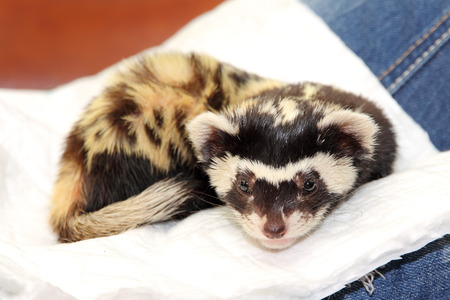 vulnerable: Marbled polecat (Vormela peregusna) lie on white cloth. Was classified as a vulnerable species in the IUCN Red List.