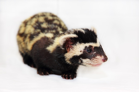 vulnerable: Marbled polecat (Vormela peregusna) on white cloth background. Was classified as a vulnerable species in the IUCN Red List.