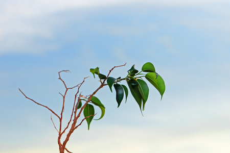 acidic: Branch of lemon tree with green leafes on blue sky background taken closeup.