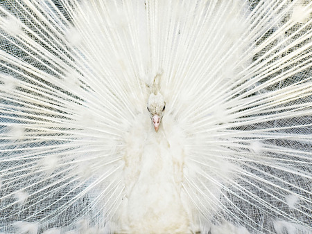 fanned: Young white colorful peacock fanned tail.Front view. Stock Photo