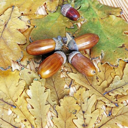 Acorns on autumn oak leaves suitable as nature background.Top view.