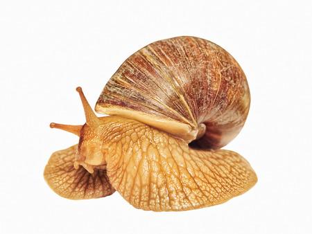 Achatina snail taken closeup isolated on white background. Stock Photo