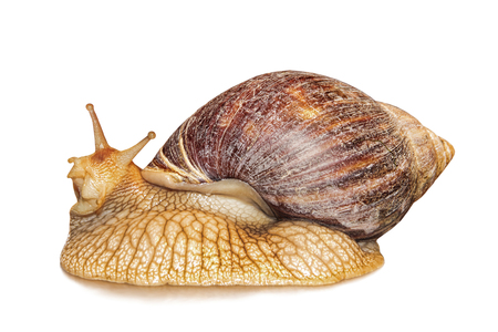 Achatina snail isolated on white background with shadow.