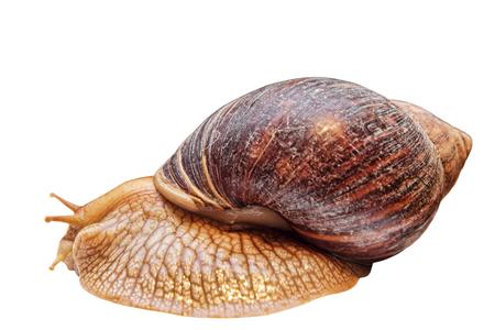 Achatina snail taken closeup isolated on white.