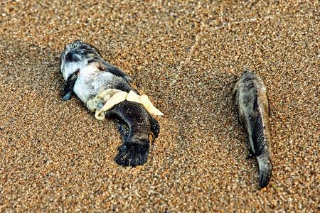 Two Dead Fish on sandy beach taken closeup.