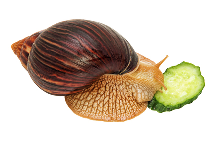 Achatina fulica snail eats cucumber isolated on white background. Stock Photo