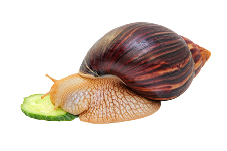 Achatina snail eats cucumber isolated on white background.