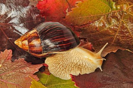 Achatina snail on multicolored autumn grape leaf taken closeup.