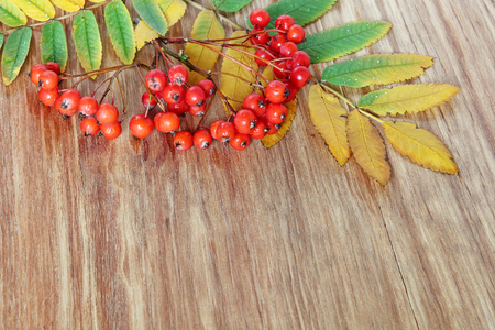 Mountain Ash Red Berries cluster and leaves on grunge wooden background.