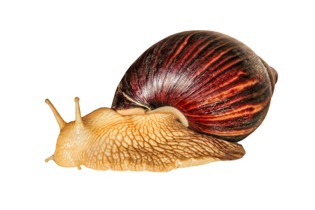 Achatina snail.Giant african snail isolated on white background taken closeup.