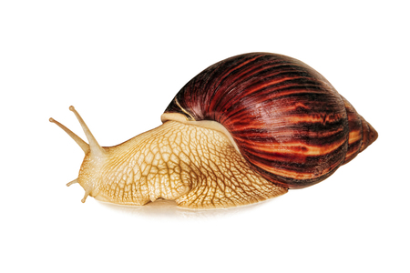 Achatina snail.Giant african snail isolated on white background with shadow.