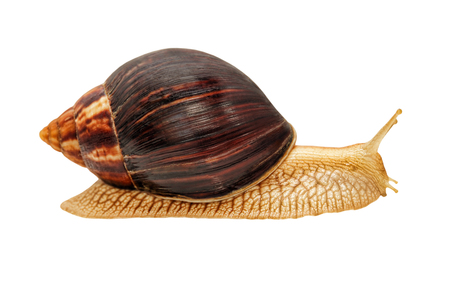 Achatina snail.Giant african snail isolated on white background.