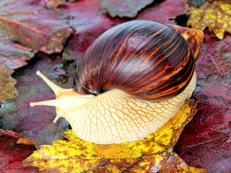 Giant african Achatina snail on color grape leaves taken closeup.
