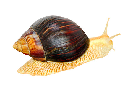 Giant african Achatina snail isolated on white background.