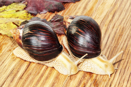 Two Giant african Achatina snails on wooden background with grape leaves taken closeup.