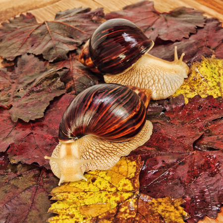 Two Giant african Achatina snails on color grape leaves taken closeup.