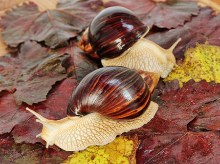 Pair of Giant african Achatina snails on color grape leaves taken closeup. Stock Photo