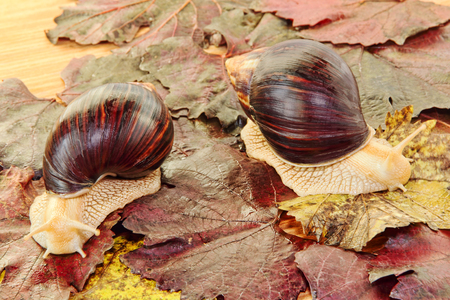 Two Giant african Achatina snails on grape leaves taken closeup.