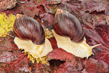 Two Giant african Achatina snails on red grape leaves taken closeup. Stock Photo