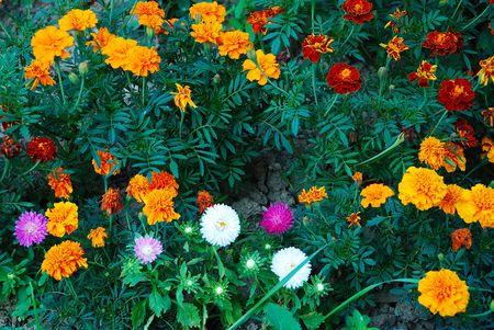 spuria: Rose e fiori nel giardino