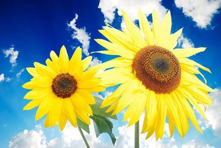 Beautiful yellow flower, colorful sunflower photo