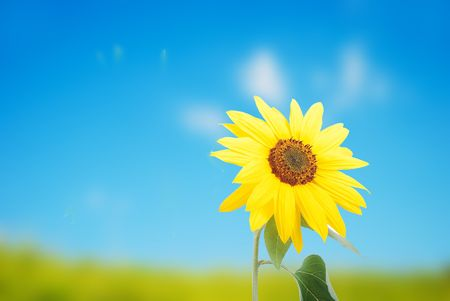 Beautiful yellow flower, colorful sunflower photo