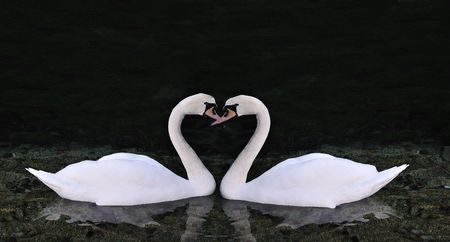Two swans making shape of a heart Stock Photo - 5972911