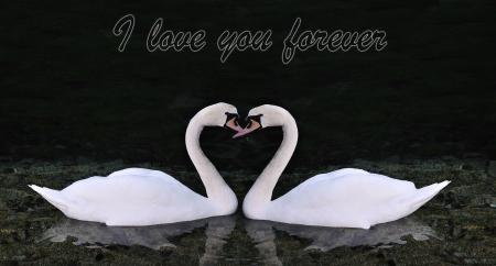 Dos cisnes haciendo en forma de coraz�n  Foto de archivo - 6051950