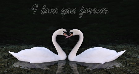 Two swans making shape of a heart photo