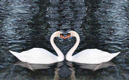 birds lake:   Two swans making a shape of heart  Stock Photo