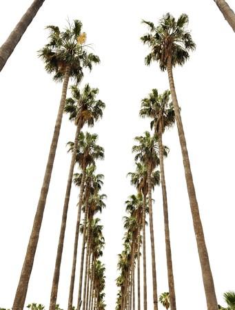 los: Hollywood palms