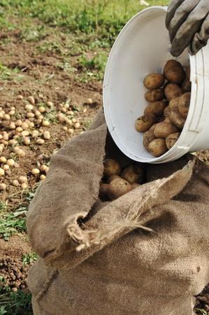 Collecting harvest in autumn: potato background photo