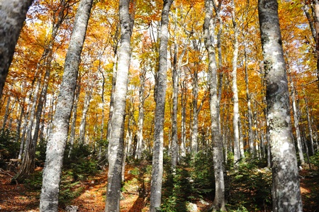 birches: Forest tree autumn yellow and green background Stock Photo