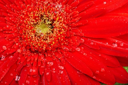 red flower macro with water droplets on the petals photo
