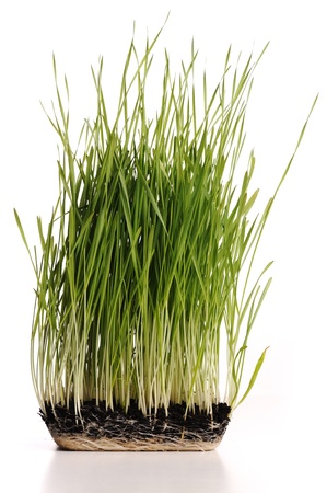 Green grass plant with its roots in mould isolated Stock Photo - 10087365