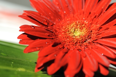 gerbera flower close up background with water drops in morning Stock Photo - 10317039