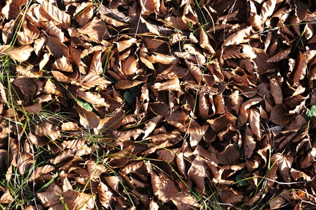 sear and yellow leaf: dry leaves lying on the ground